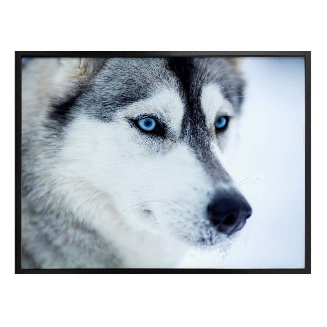 Poster Eisblaue Augen