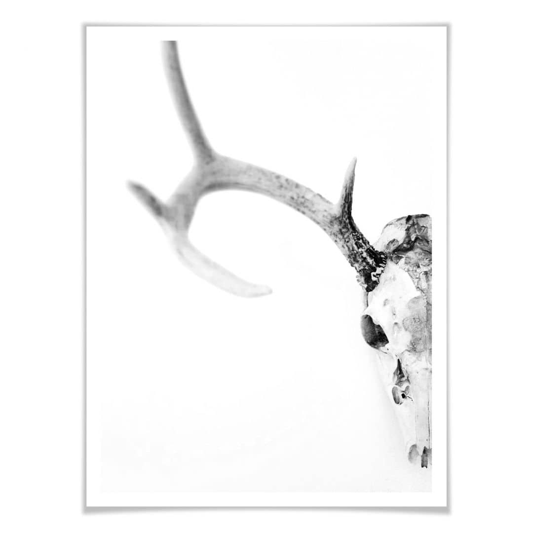 Poster Skull of a Deer