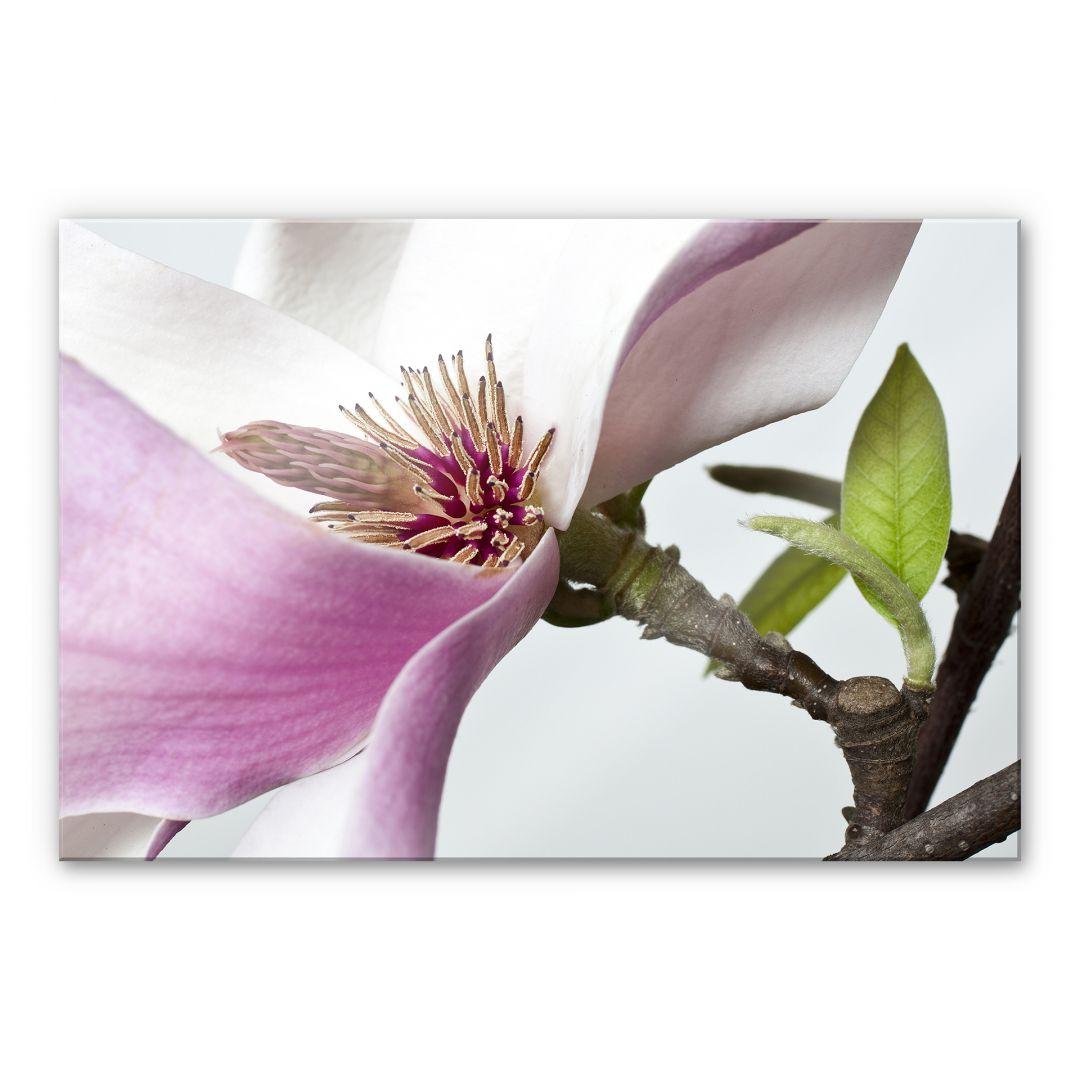 acrylglasbild magnolie von k l wall art wall. Black Bedroom Furniture Sets. Home Design Ideas