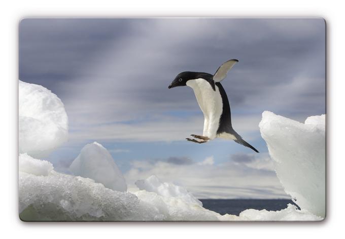 glasbild pinguin fly bewohner der arktis f r ihr zuhause wall. Black Bedroom Furniture Sets. Home Design Ideas