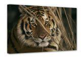 Leinwandbilder - Leinwandbild NG Tiger 30x20 cm