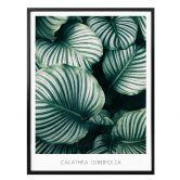 Poster Calathea Orbifolia