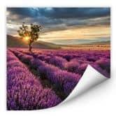 Wallprint W - Lavendelblüte in der Provence - quadratisch