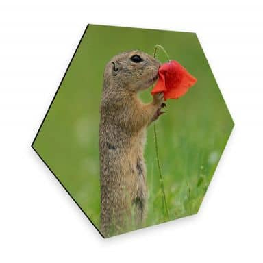 Hexagon Alu-Dibond Dick van Duijn - Squirrel with poppy