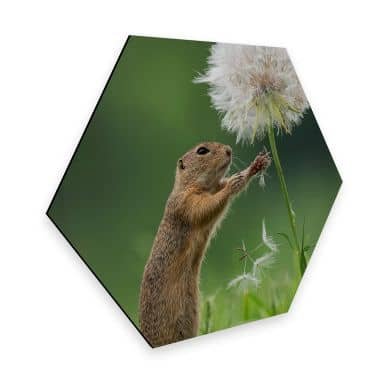 Hexagon Alu-Dibond Dick van Duijn - Squirrel with dandelion