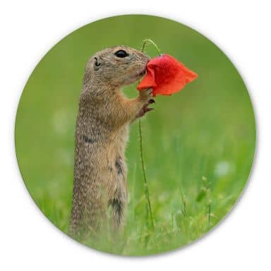 Alu-Dibond Dick van Duijn - Squirrel with poppy - round