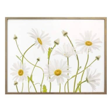 Poster Disher - Ox eye Daisies
