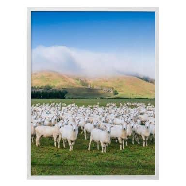 Poster Colombo - Schafherde in Neuseeland