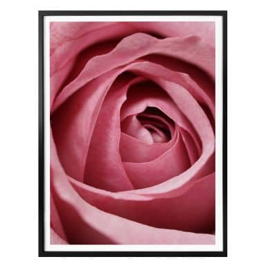 Poster the Pink Rose