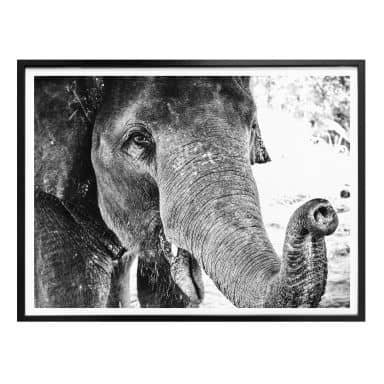 Poster Indian Elephant
