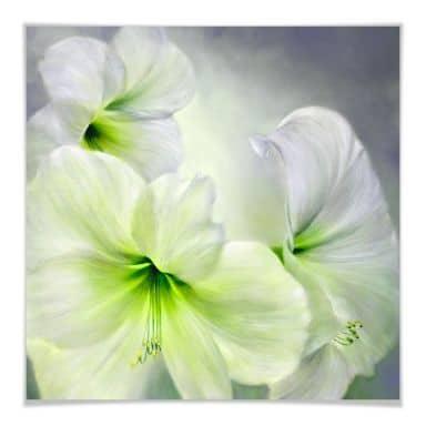 Poster Schmucker - Weiße Amaryllis