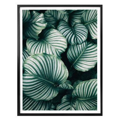 Poster - Urban Jungle - Calathea Orbifolia