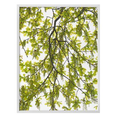 Poster Kadam - Oak tree