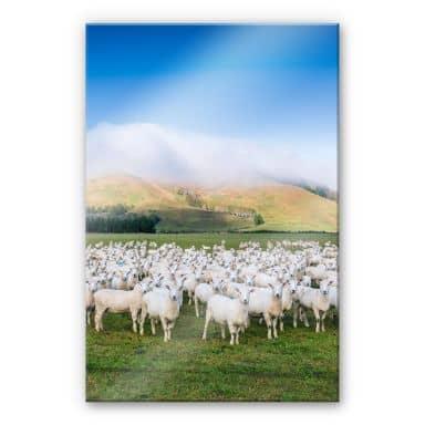 Acrylglasbild Colombo - Schafherde in Neuseeland