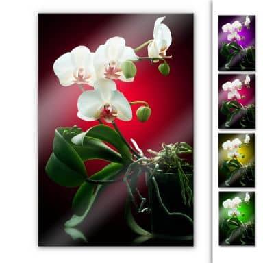 Acrylglasbild Blütenpracht einer Orchidee