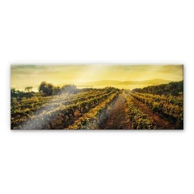 Acrylglasbild Weinreben im Sonnenuntergang - Panorama