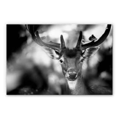 Acrylglasbild Sandra - Junger Hirsch
