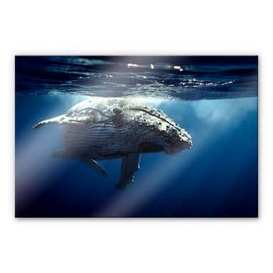Acrylic glass Dive of the Humpback Whale