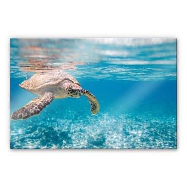 Acrylglasbild Schildkröte auf Reisen