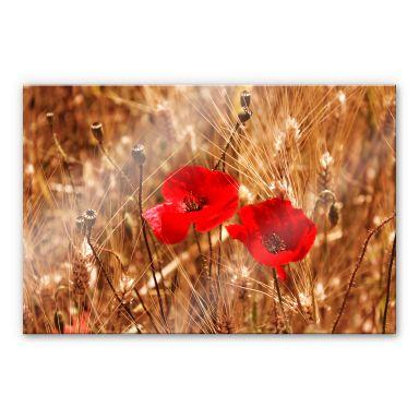 Acrylglasbild Mohnblüten im Feld
