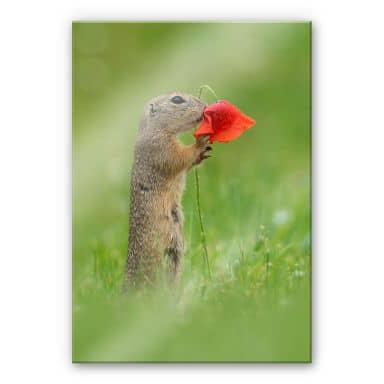 Acrylic Glass Picture Dick van Duijn - Squirrel with poppy