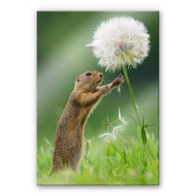 Acrylic Glass Picture Dick van Duijn - Squirrel with dandelion