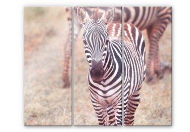Acrylglasbild Zebra Fohlen (3-teilig)