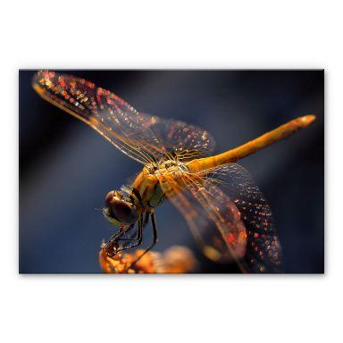 Acrylglasbild Dufour -Libelle auf Tuchfühlung