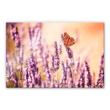 Acrylglasbild Colombo - Der Schmetterling im Lavendel