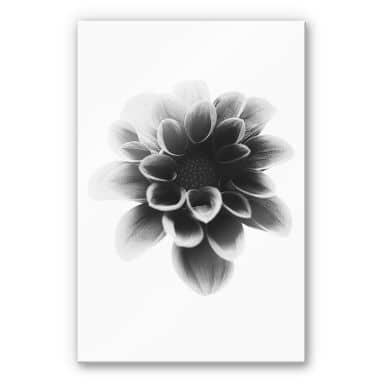 Acrylglasbild Grønkjær - Dahlia