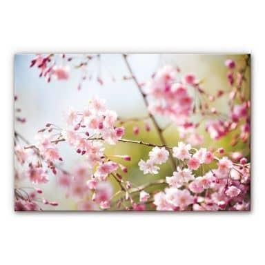 Kirsebærstræ