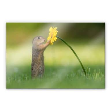 Acrylic Glass Picture Dick van Duijn - Squirrel holding flower