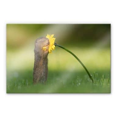 Tableau en verre acrylique van Duijn - Un petit écureuil sentant une fleur