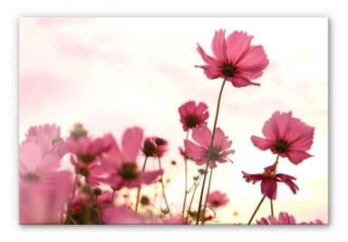 XXL Wall Picture Pink Garden Cosmos