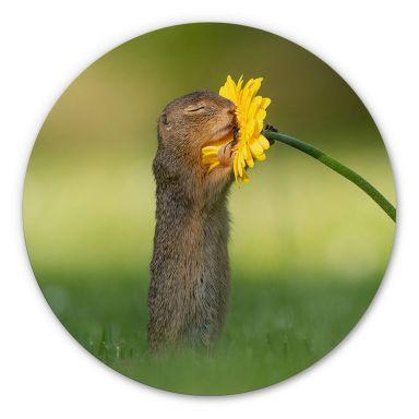 Tableau en Alu-Dibond van Duijn - Un petit écureuil sentant une fleur