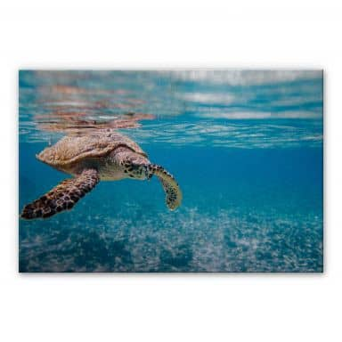 Swimming Turtle Aluminium print