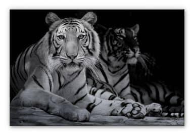 Alu-Dibond Bild Zwei Königstiger schwarz-weiß