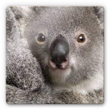 Glasbild Cuddly Koala - quadratisch
