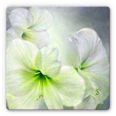 Glasbild Schmucker - Weiße Amaryllis