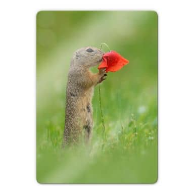 Glass print Dick van Duijn - Squirrel with poppy