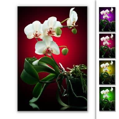 Wandbild Blütenpracht einer Orchidee