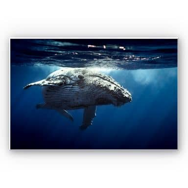 Tableau Forex - Baleine à bosse en plongée