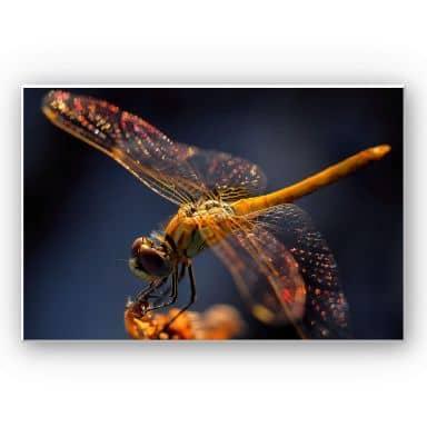 Wandbild Dufour - Libelle auf Tuchfühlung