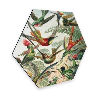 Hexagon - Alu-Dibond Haeckel - Kolibris