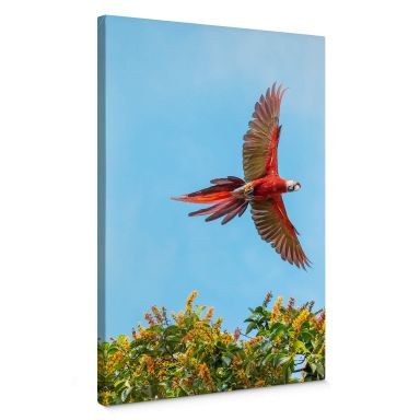 Leinwandbild Colombo – Papagei im Flug