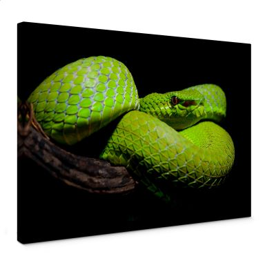 Leinwandbild Hakonsen - Die grüne Pit-Viper