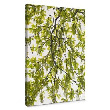 Canvas Print Kadam - Oak tree
