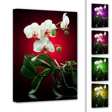 Leinwandbild Blütenpracht einer Orchidee
