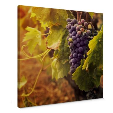 Leinwandbild Toskanische Weinrebe