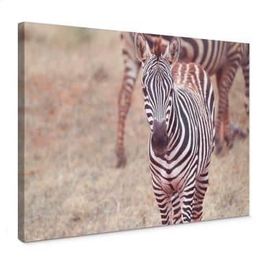 Leinwandbild Zebra Fohlen